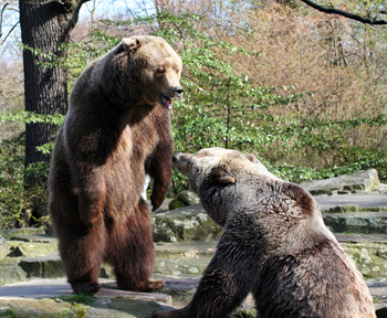 Bears Meeting